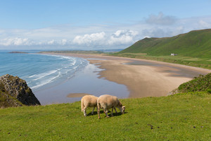 Sheep grazing Rhossili beach The Gower peninsula near Swansea South Wales UK