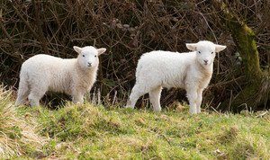 Two white lambs looking to camera by a hedge