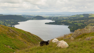 Black and white sheep  on mountain Ullswater Lake  District Cumbria England UK