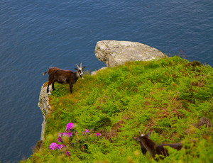 Goat on the edge of a cliff being watched by another Northumberland goat