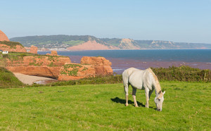 White pony and sandstone rock stacks Ladram Bay beach Devon England UK located between Budleigh Salterton and Sidmouth and on the Jurassic Coast