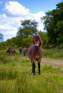 Exmoor wild pony looking to camera