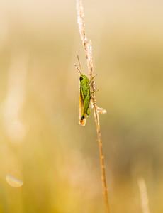 Grasshopper in close up.