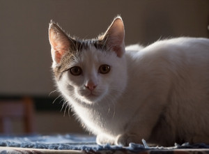 Shorthair domestic cat portrait