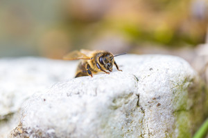 Honey bee sitting on stone