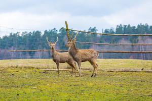 Sika deer - Dybowski deer flock