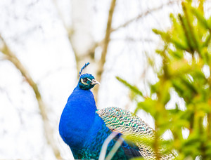 Beautiful peacock portrait