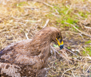 Portrait of steppe eagle