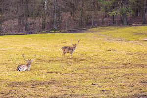 Fallow-deer in outdoor