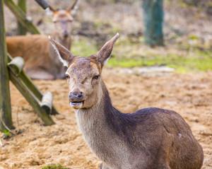 Deer doe resting on ground