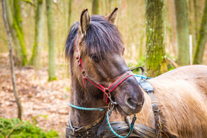 Horse in harness - animal portrait