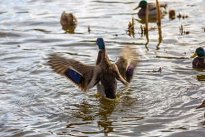 Mallard ducks photographed in city park