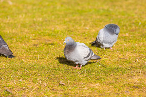 Pigeons in city park