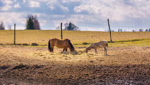 Przewalski horse and david's deer