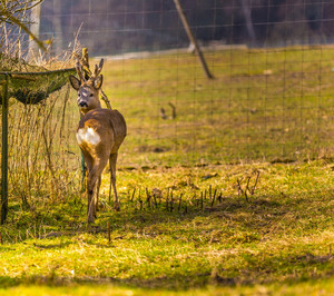 Roe deer portrait.