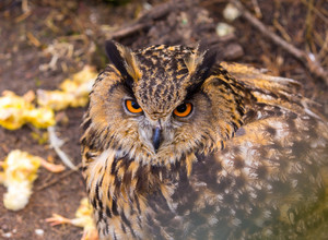 Beautiful big eagle-owl portrait