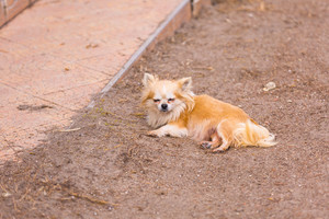 Long haired chiwawa dog