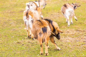 Tiny goat photographed in animal park