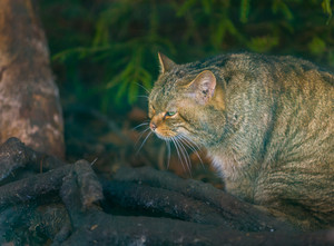 European wildcat portrait