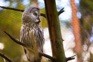 Beatiful Great Grey Owl (Strix nebulosa)