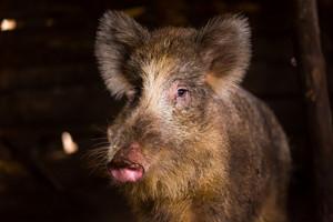 Boar female portrait