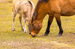 Przewalski horse (Equus przewalski) portrait