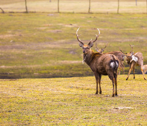 Dybowski deer (Sika deer)