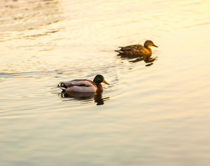 Pair of mallard ducks swimming in lake