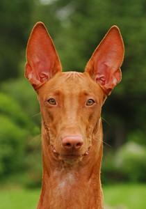 Portrait of pharaoh hound
