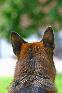 Head of a dog rear view