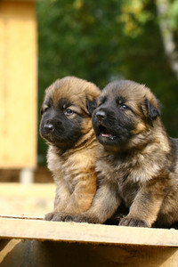 Two german shepherds puppies