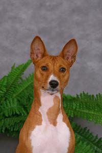 Portrate of basenji dog