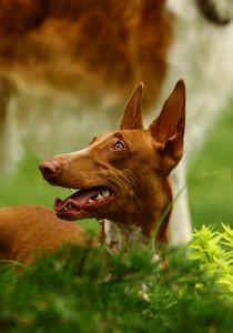 Pharaoh hounds portrait