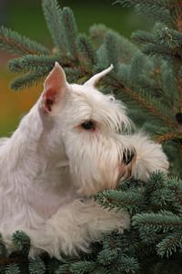 White dog on green
