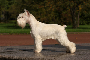 Standing of dog