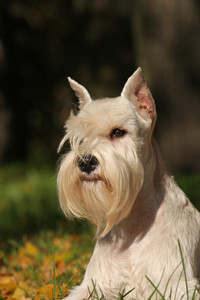 Portrate of white dog