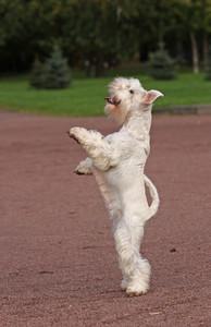 White dog staying