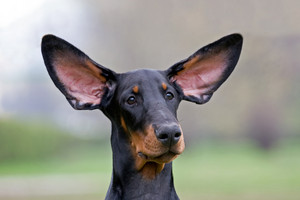 Black dog flying ears