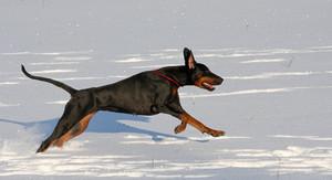 Doberman  running in deep snow