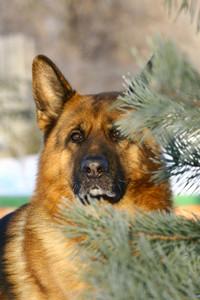 Shepherd above fur-three