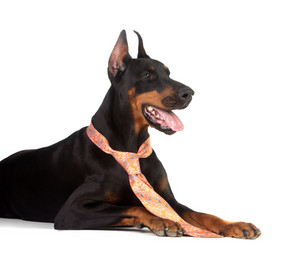 Grate doberman dog on white background wearing a tie