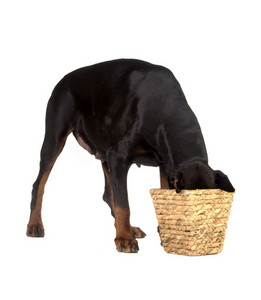 Pet dog eating food from basket on white background