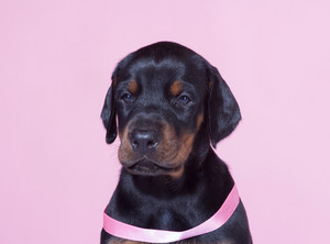 Close up Portrait of Puppy with pink belt  on pink background
