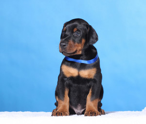 Portrait of Puppy with blue belt  on blue background