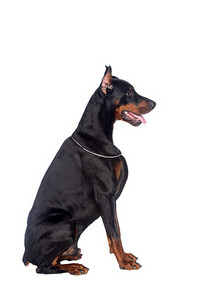 Sitting doberman dog