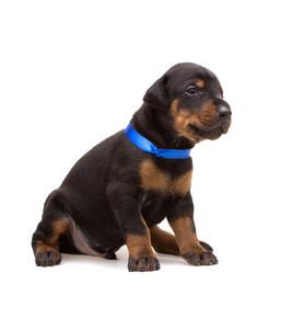 Doberman puppy in blue ribbon
