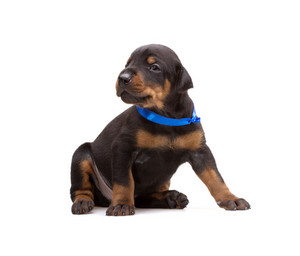 Doberman puppy in blue ribbon