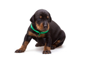 Doberman puppy in green ribbon