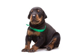Doberman puppy in green ribbon