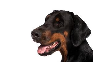 Doberman dog portrait
